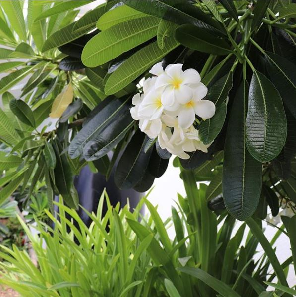 image of plumerias on client property